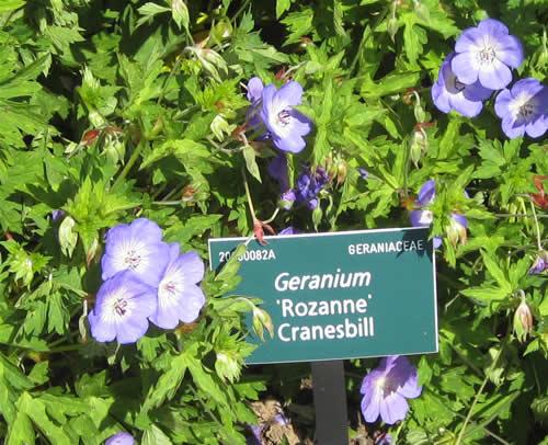 cranesbill_geranium_rozanne