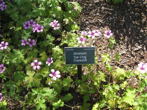 """Cranesbill Geranium """"Sue Crug"""""""