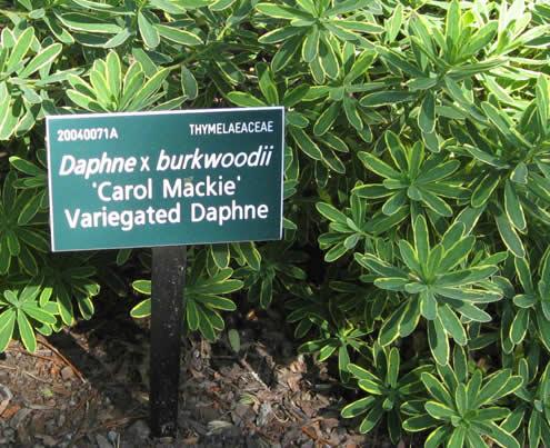 Daphne_Carol_mackie