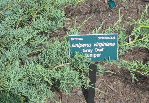 low growing Grey Owl Juniper