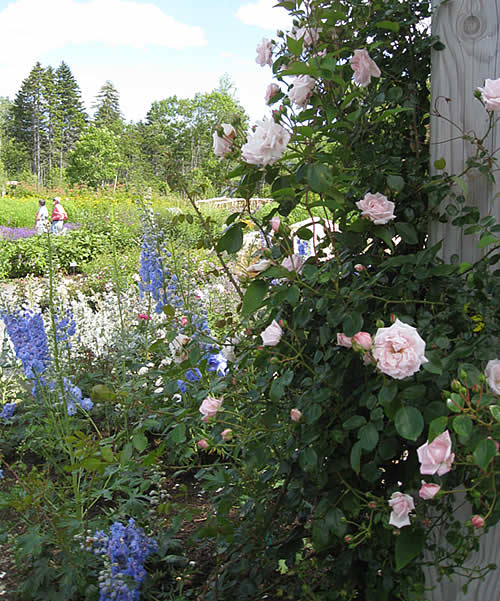 New Dawn climbing rose and unknown delphinium
